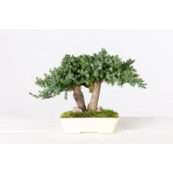 Bonsaï Juniperus procumbens