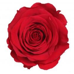 Rose Standard - boîte de 6