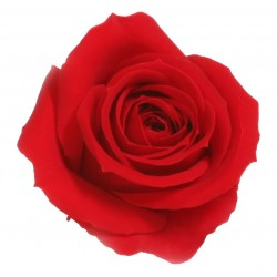 Rose Mini (M) - boîte de 12