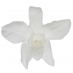 Orchidée Dendrobium (M)...