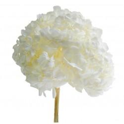 Hortensia premium blanc