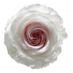 Rose Extra Bicolor (L) -...
